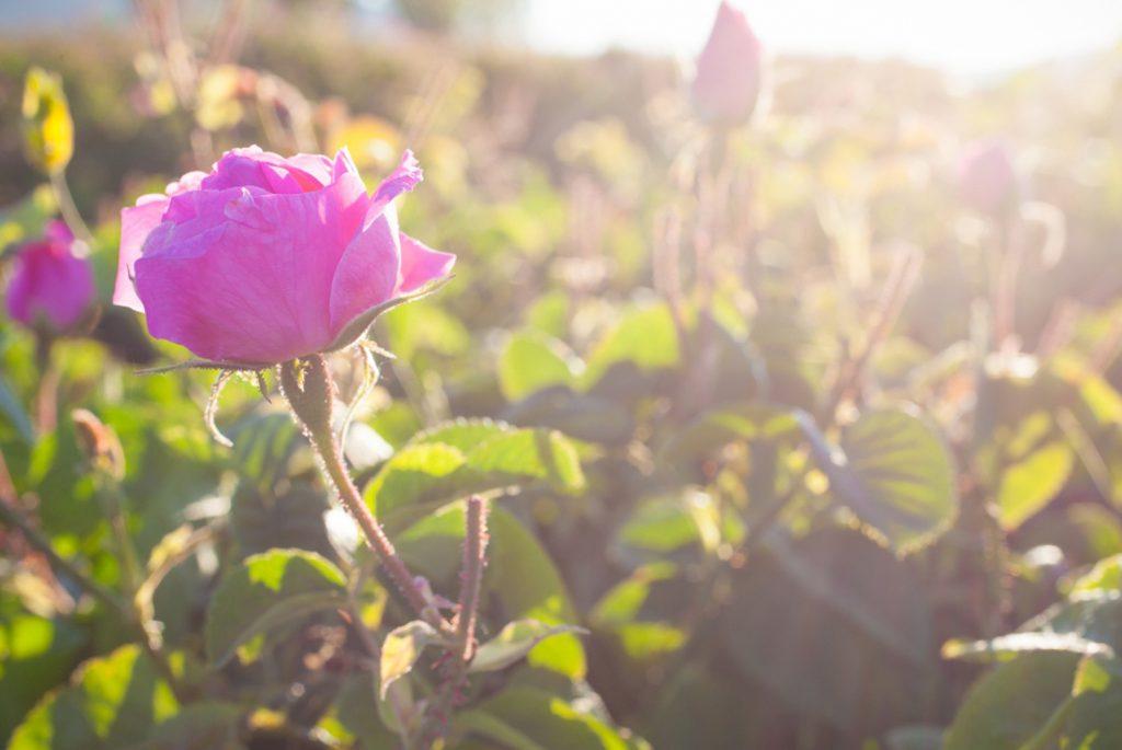 Chloe-Parfum-Roses-Fashionblogger-K
